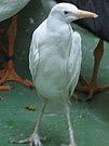 Bubulucas ibis