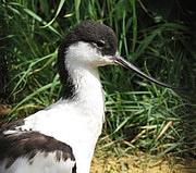 Recurvirosta avosetta