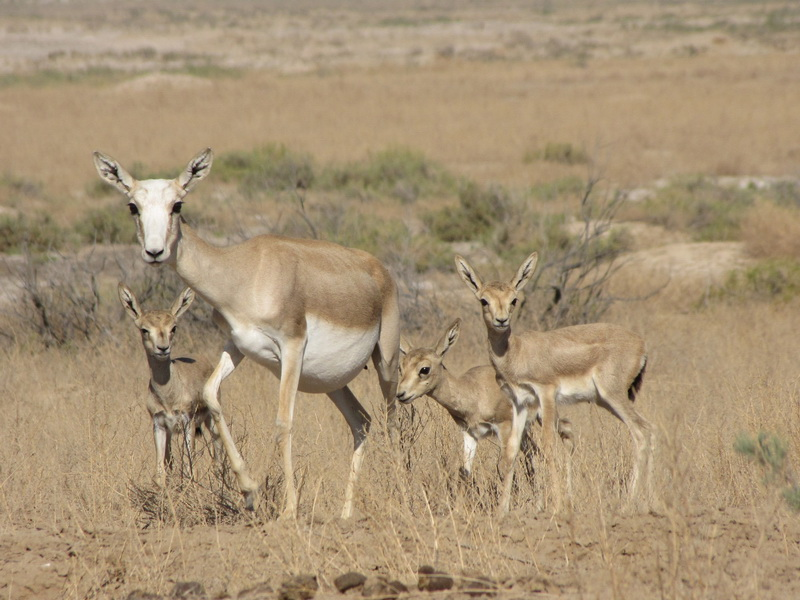 N Ungulate Gazelle project